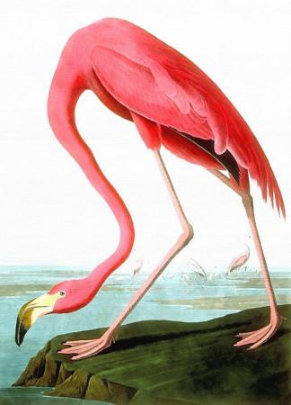 1-american-flamingo-john-james-audubon