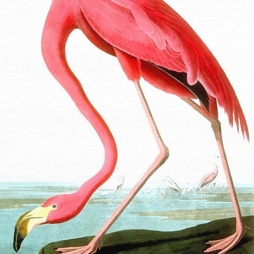 1-american-flamingo-john-james-audubon